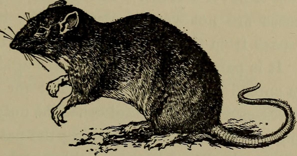 Rattenbild von 1910